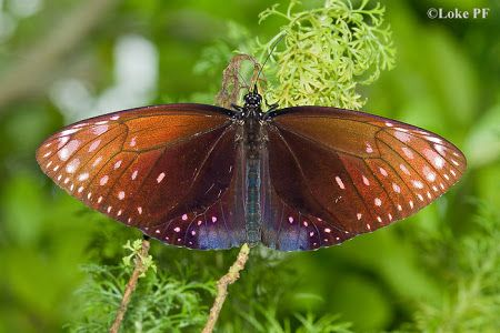 Butterflies of Singapore: Revision to the Common Names of ...