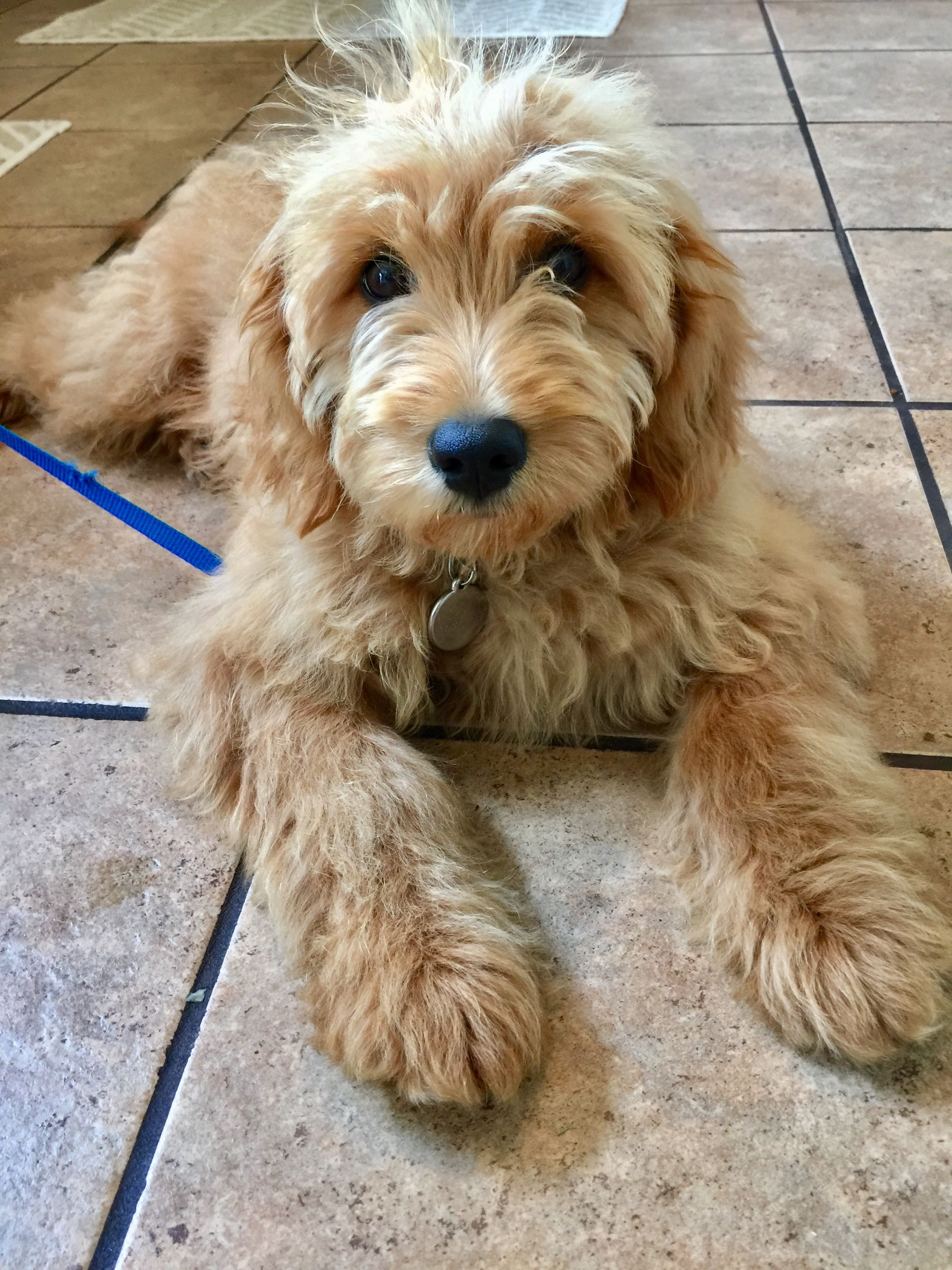 F1 Mini Goldendoodle 19 Weeks Old Goldendoodle Mini
