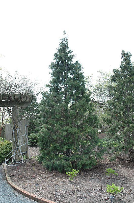 Sullivan Nootka Falsecypress (Chamaecyparis nootkatensis 'Sullivan') | Height 20' x Width 12' | Lurveys