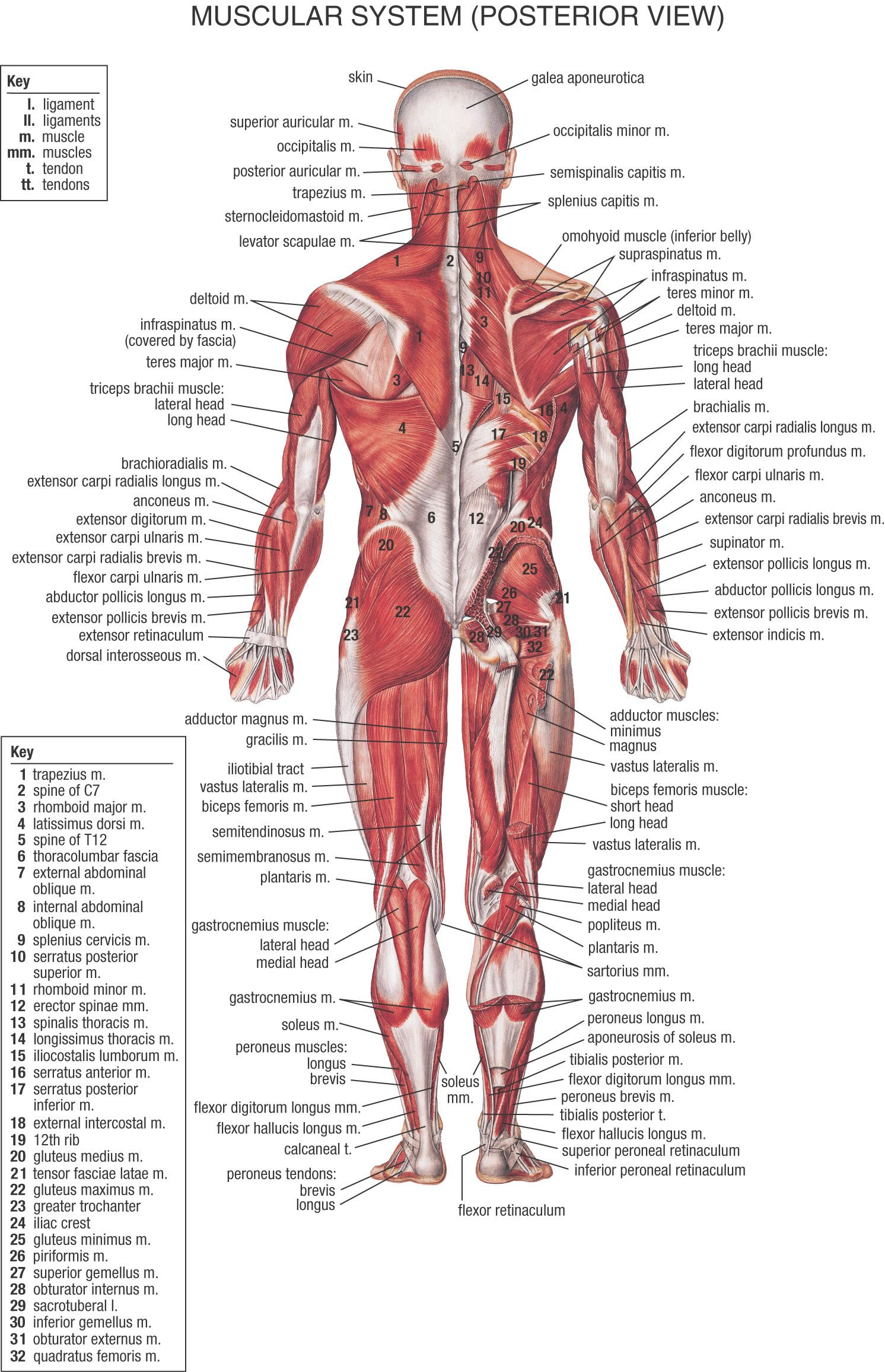 Hb Muscular System Posterior View Muscles In Fitness Pinterest