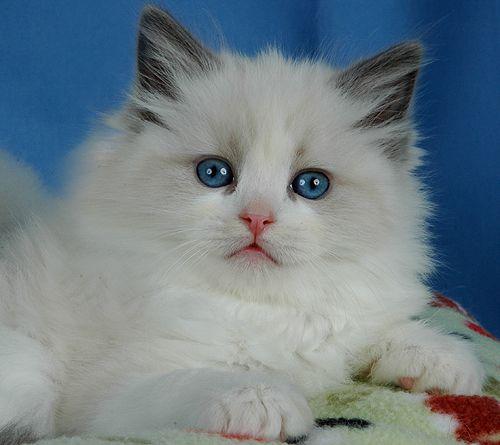 Blue Gem Ragdoll Cats Photo Gallery Ohio Ragdoll Cat Wild