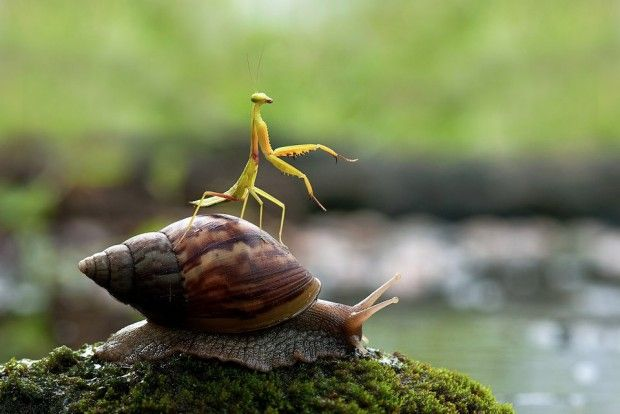 Praying Mantis Riding On A Snail I Think It Looks Like The Mantis Is Practicing It S Tai Chi On Top Of That Snail Macro Photos Snail Praying Mantis