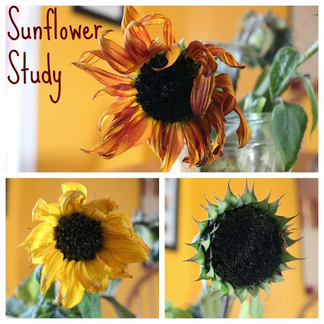 Sunflower Dissection Sunflower Dissection Stem Activities