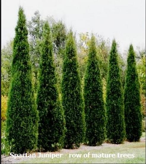 spartan juniper. manicured