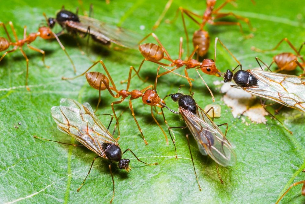 Flying Ants And How To Get Rid Of It Flying Ants Ants With Wings Ants