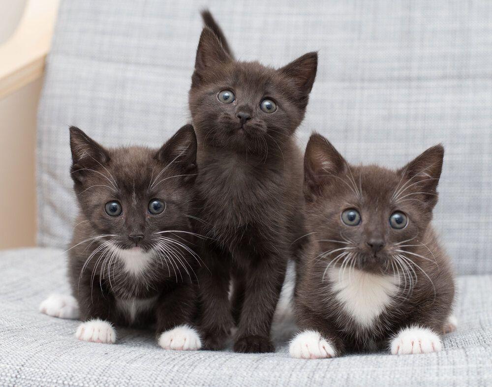 Fostering 101 Kitten Lady In 2020 Kitten Kittens Asian Leopard Cat