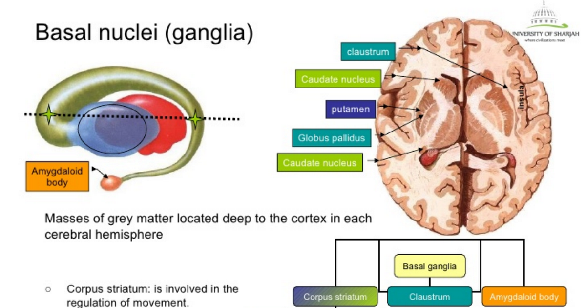 Basal Ganglia & its blood supply ... 【 Note: No supply to Basal ...