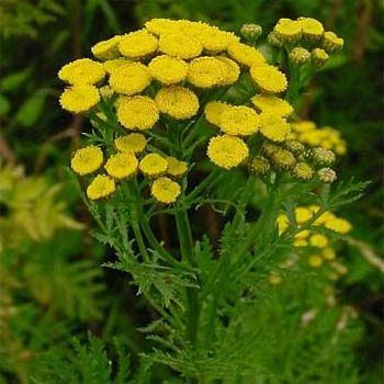 Tansy Seeds Golden Buttons Herb Seed Flower Essences Herb Seeds Planting Herbs