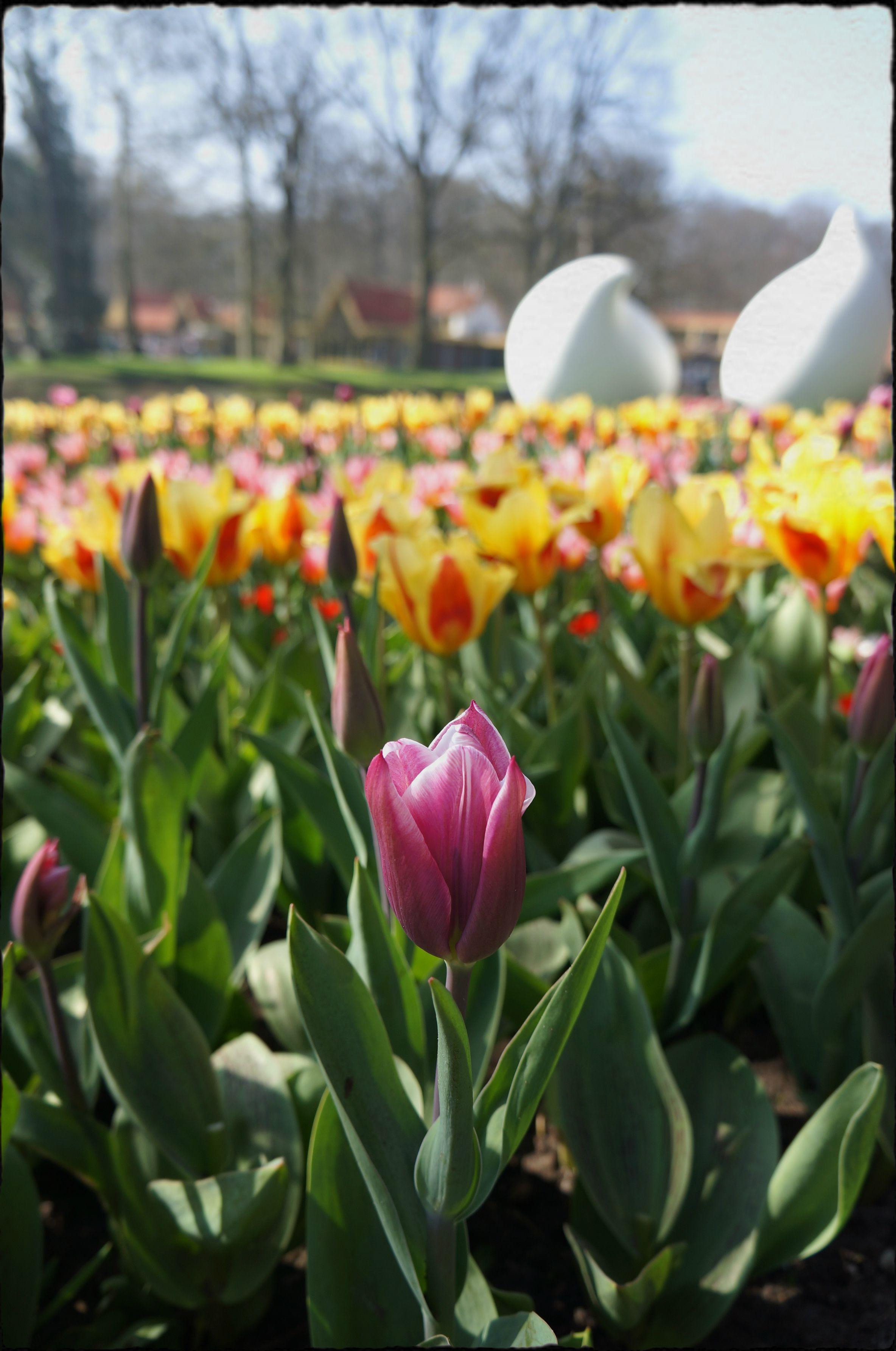 Tulipa / Amsterdã / Holanda
