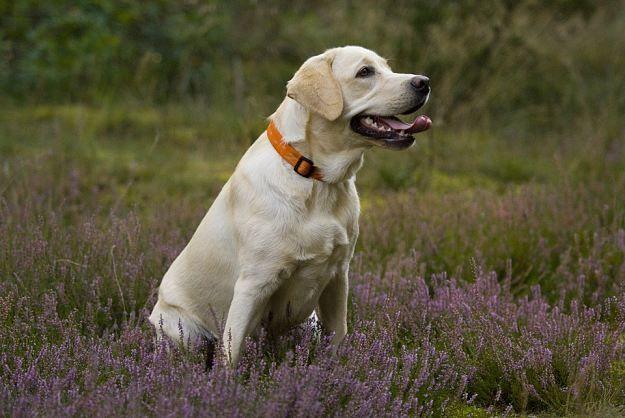 Labrador Retriever Dogs And Puppies Labrador Retriever Labrador