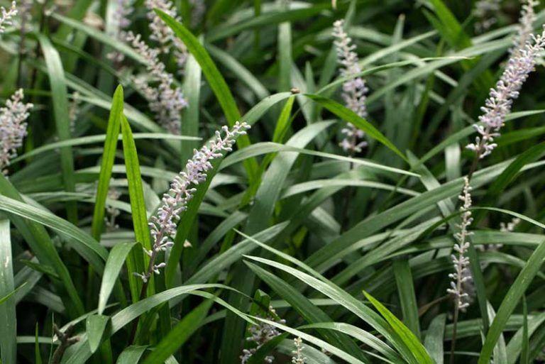 tall white flower plant identification