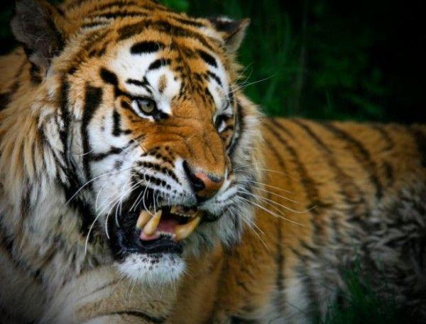Tigres usam seus bigodes para fins felinos típicos, como detecção de distâncias. Outro uso é para verificar o pulso de sua presa, a fim de ver se é hora de parar de atacar e começar a comer