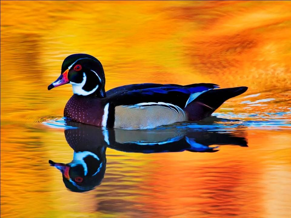 Pin By Manuel58 On Birds Duck Wallpaper Water Reflections Animals