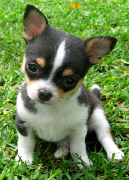 Chidolls Chihuahua S Yorkshire Terriers Bello