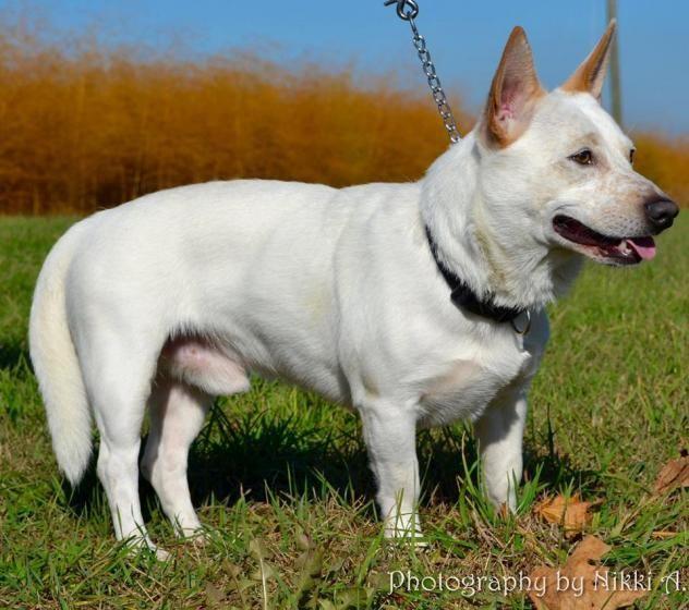 Adopt Graham On Corgi Dog Dogs Labrador Retriever