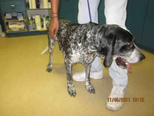 Adorable Coonhound At The South Brevard Animal Shelter In Melbourne Fl Animal Shelter Pets Animals