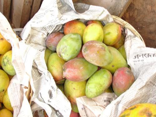 EcoPort Picture : Mangifera indica