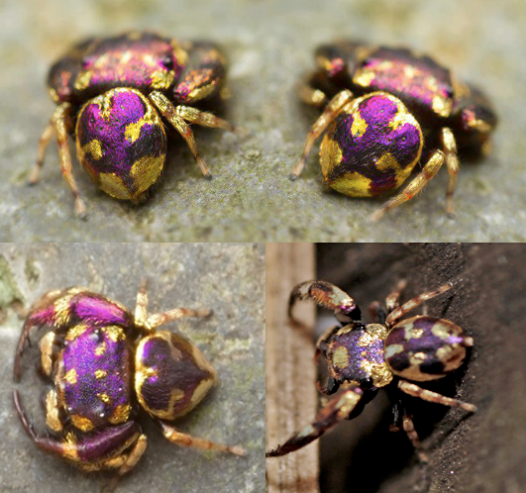 Simaetha sp. is a gorgeous gold and purple jumping spider recently discovered in the Sraburi Province of Thailand.