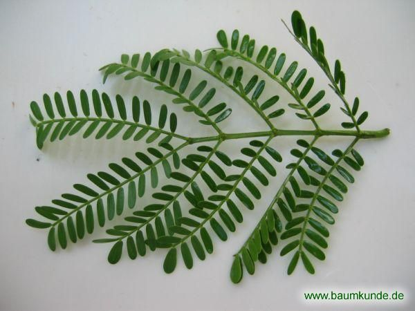 Karroo-Akazie / Acacia karroo / Blatt Familie: Mimosaceae