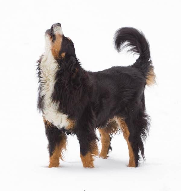 BERNESE MOUNTAIN DOG Dog Weathervane