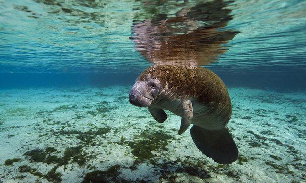 It S Manatee Awareness Month Let S Celebrate Florida Crystal River Florida Snorkeling