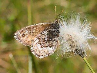 Sarakylmänperhonen, Oeneis norna - Perhoset - LuontoPortti