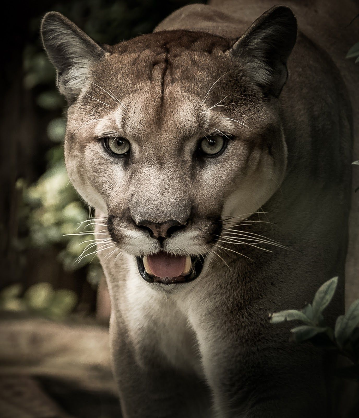 About Wild Animals PumaThe elusive wild cat Big cat