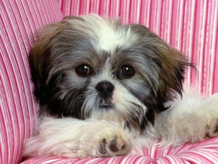 Shih Tzu With Short Hair Shih Tzu Dog Shih Tzu Puppy Very Cute