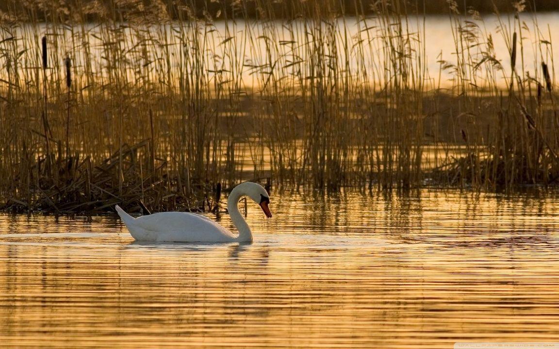 cisne swan Mute swan, Swan wallpaper, Swan pictures