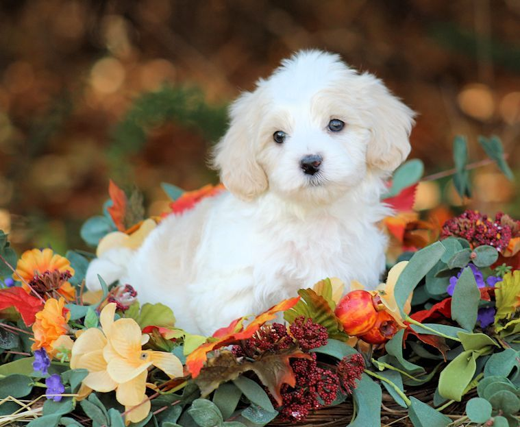 Maltipoo Puppies For Sale On The Spot Adoption In Ohio Shipping Across The Us Teacuppomeranianpuppy Maltipoo Puppies For Sale Puppies For Sale Puppies