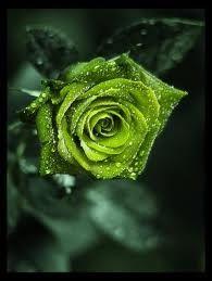 Green Roses - Google-søk