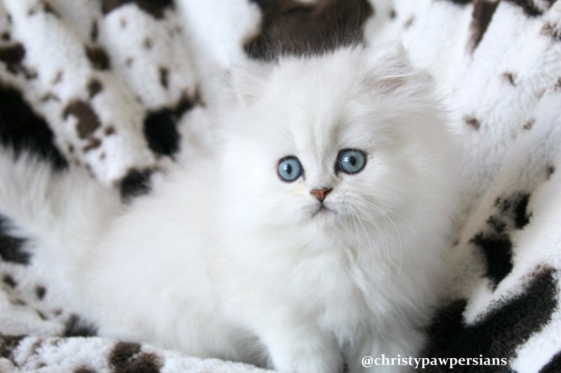 Chinchilla Silver Persian Kittens For Sale Christypaw Persians Kitten For Sale Teacup Persian Kittens