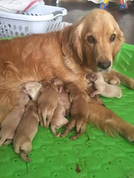 Litter Of 9 Golden Retriever Puppies For Sale In Oakhurst Ca Adn