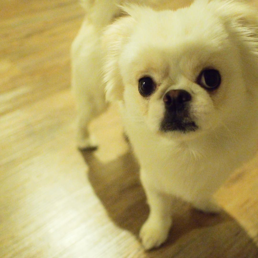 modelあきお #doghuggy #ドックハギー #dogstagram #dogofthedayjp #いぬら部 #犬なしでは生きていけません会 #犬バカ部 #鼻ぺちゃ犬 #ペキチワ #犬と猫がいる生活