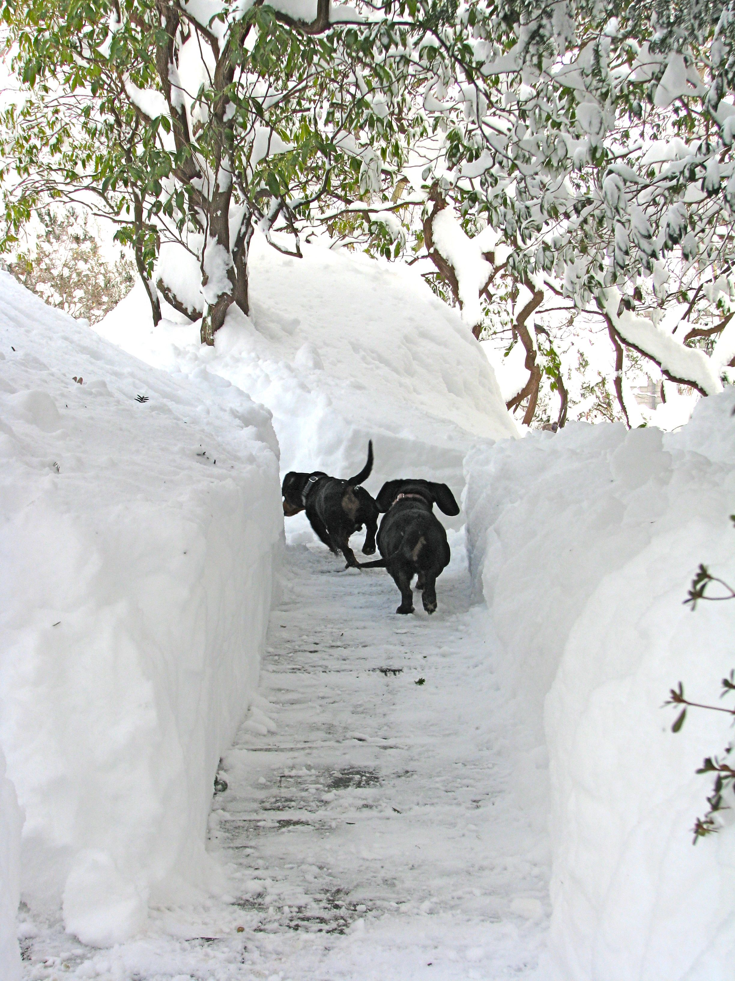 doxies playing in a path of snow note this would not be my dogs
