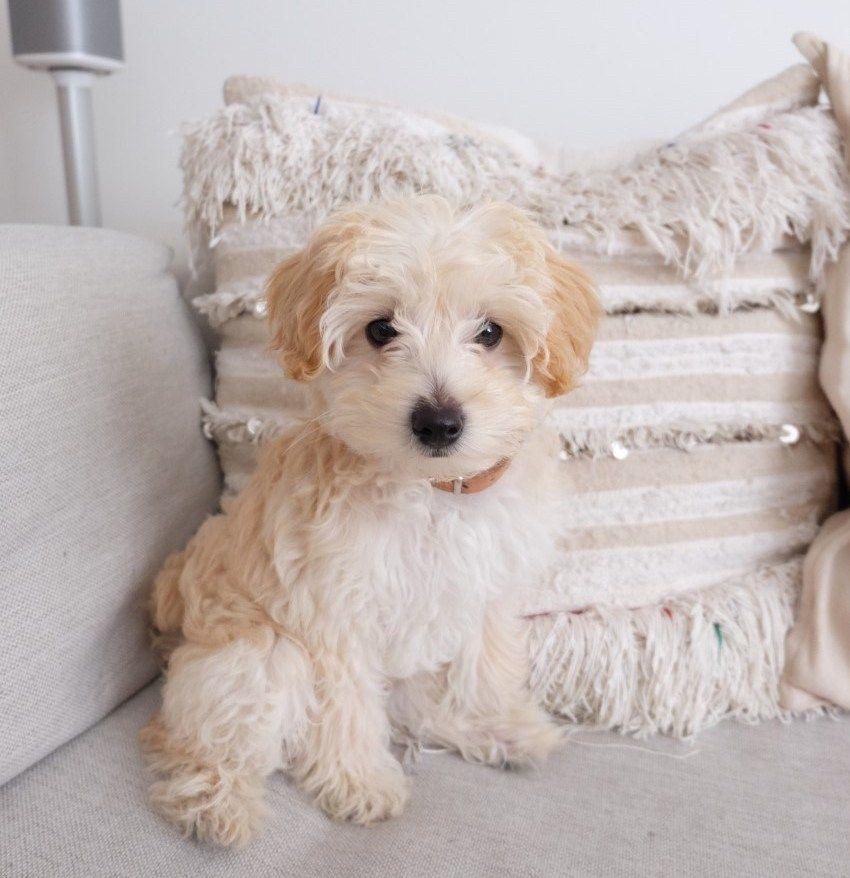 Leben Mit Hund Maltese Poodle Dog Blanket Paw Balm