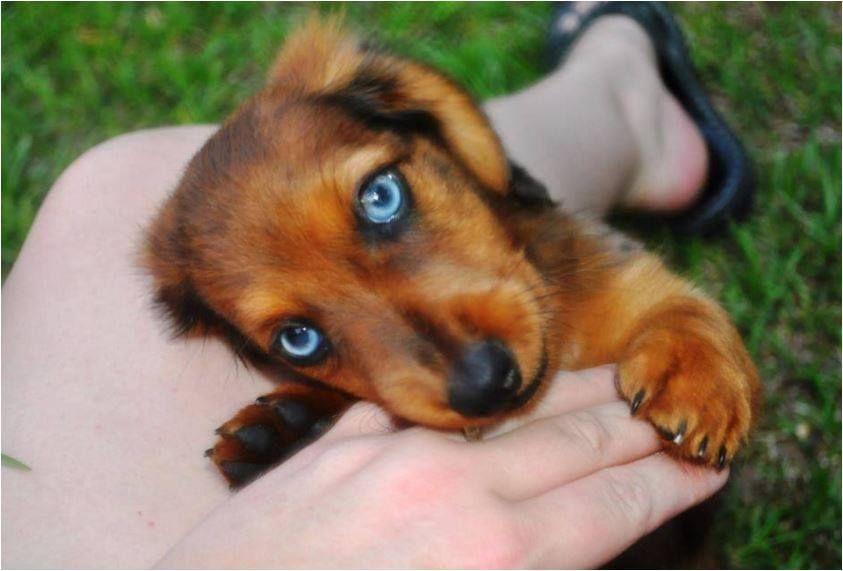 A Dachshund With Beautiful Blue Eyes Dachshund Weiner Dog