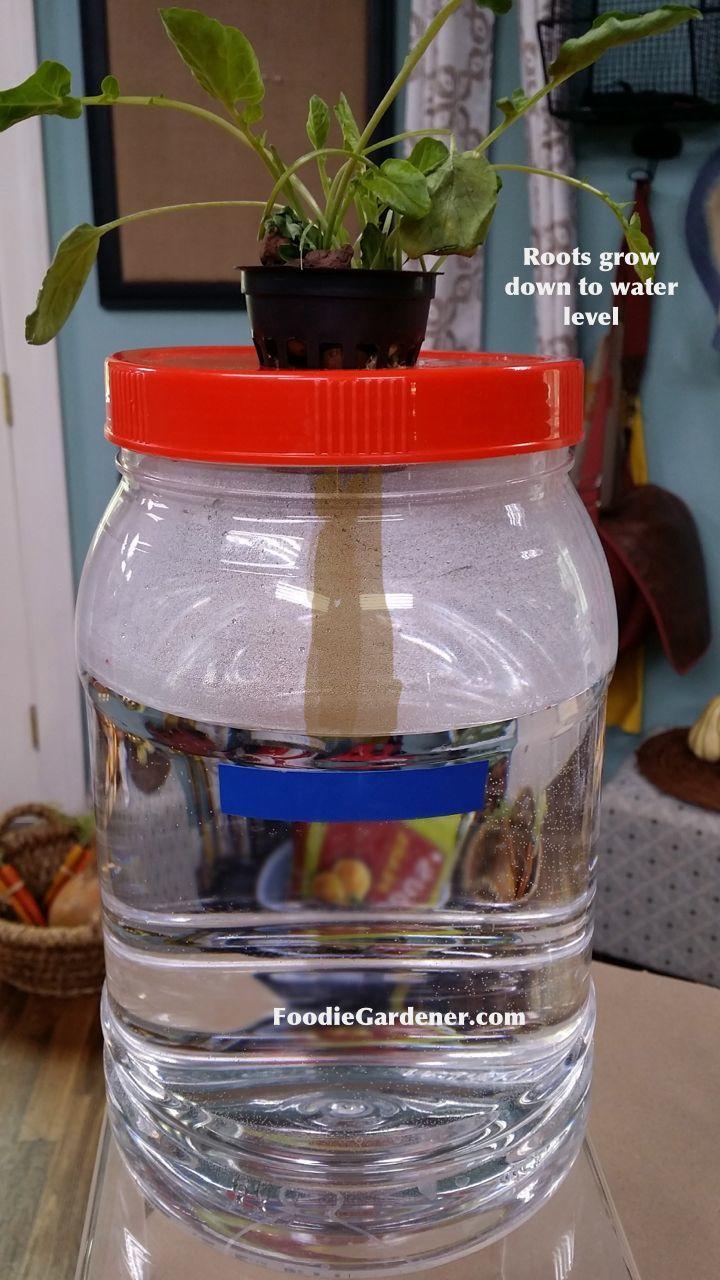Clear container hydroponic lettuce kratky method shirley bovshow foodie gardener garden ideas - Hydroponic container gardening ...