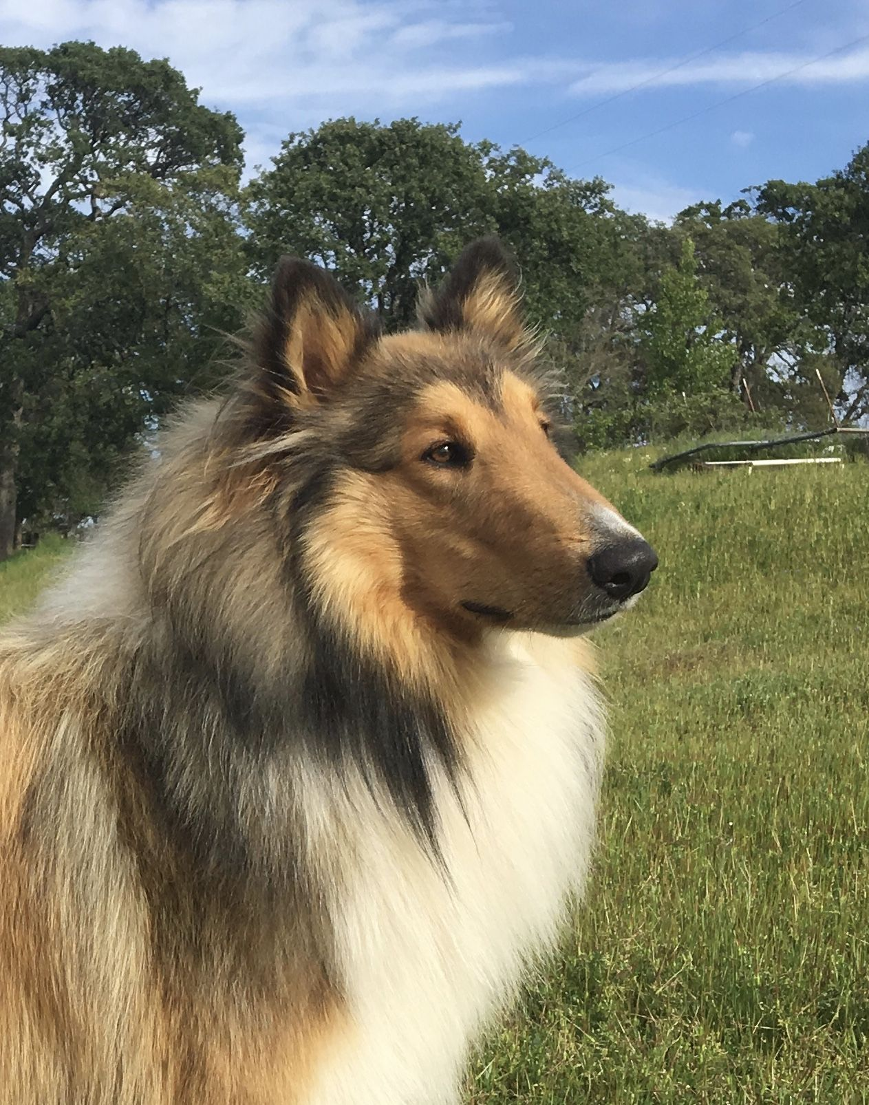 Maverick S Fox Mulder Akc Registered Rough Collie Stud Dog 1 Year Old In 2018 Located In Northern California Rough Collie Stud Dog Collie