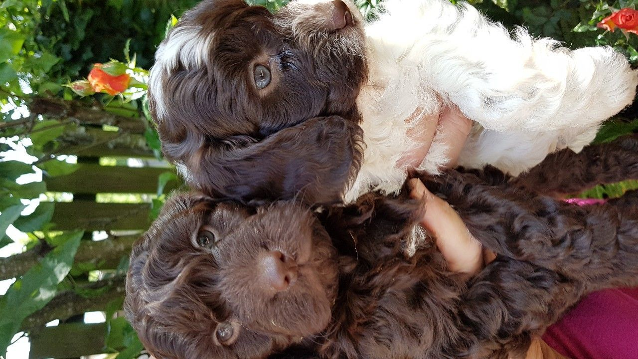 Quality F1 Cockapoo Puppies For Sale Puppies For Sale Cockapoo Puppies Cockapoo Puppies For Sale