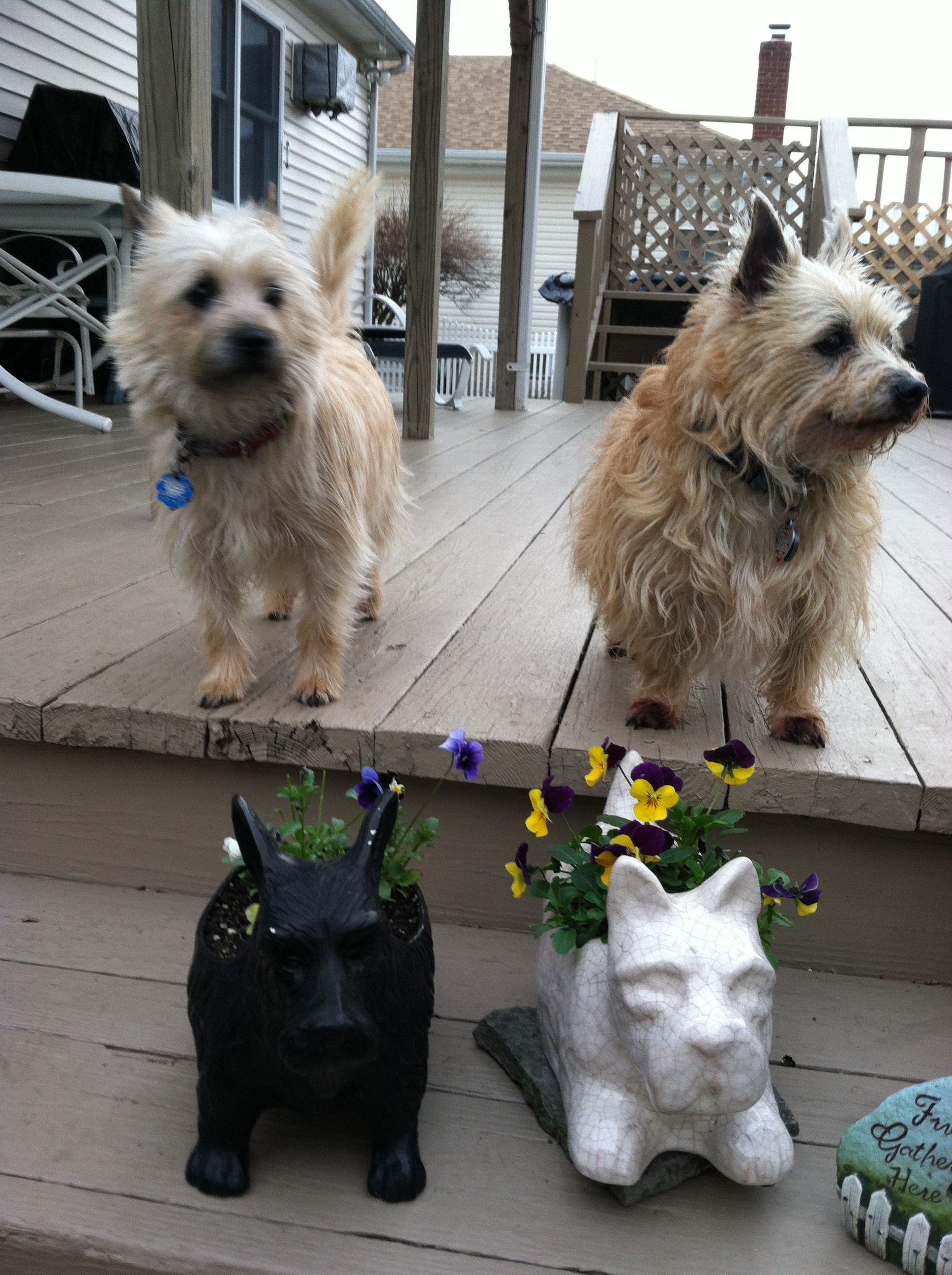 the four cairns | cairn terriers | cairn terrier, terrier, dogs