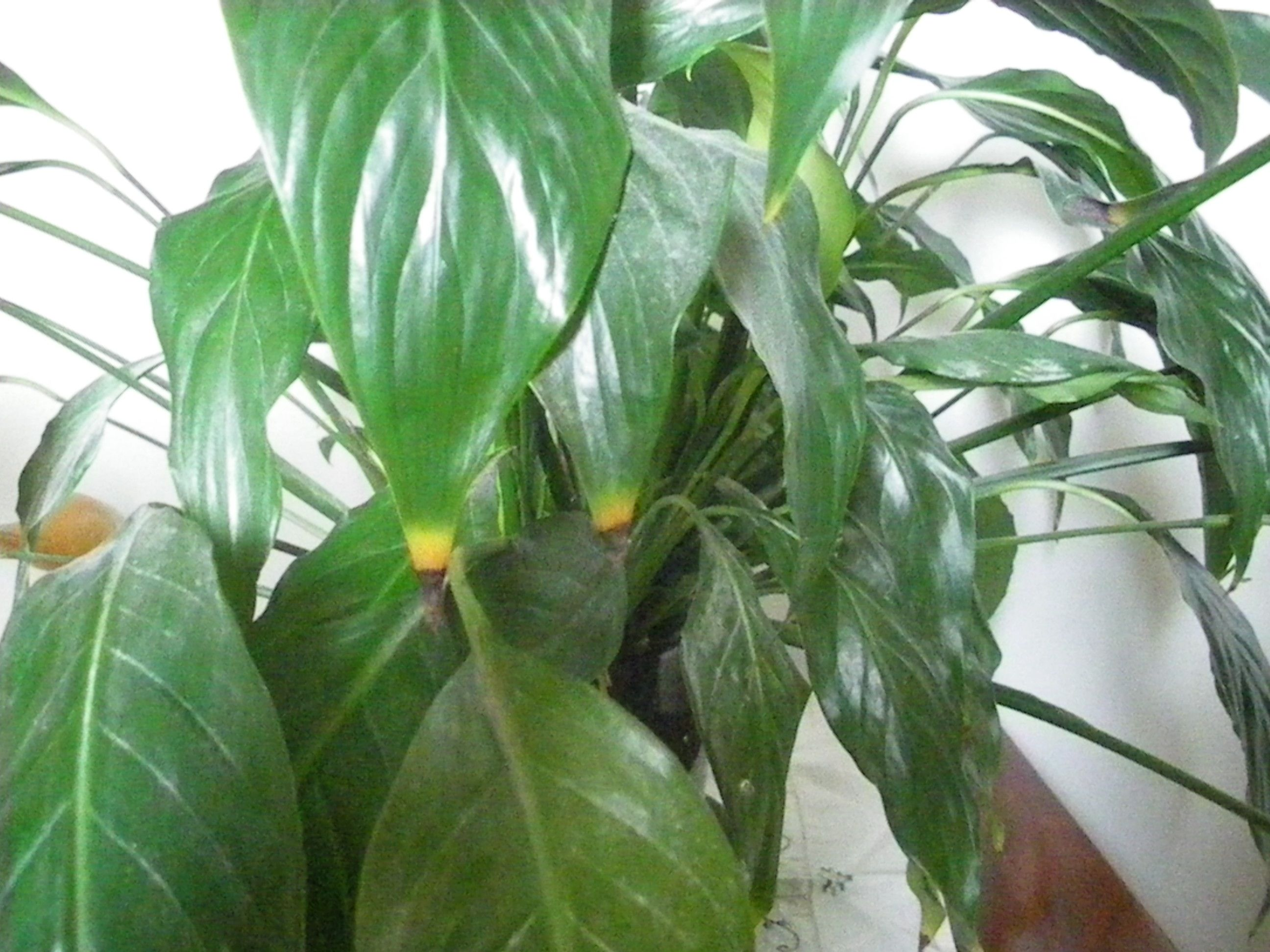 Peace lily flower indoor peace lily only get 2 3 stock flower flower peace lily izmirmasajfo
