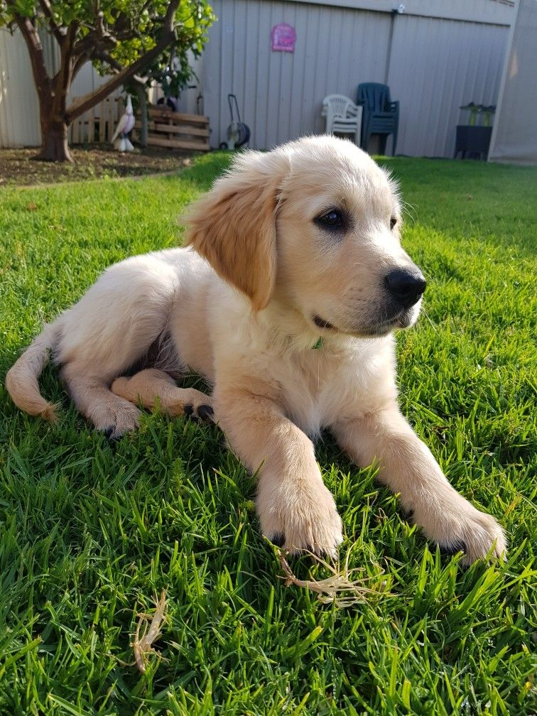 12 Weeks Old Today Labrador Puppy Puppies Golden Retriever