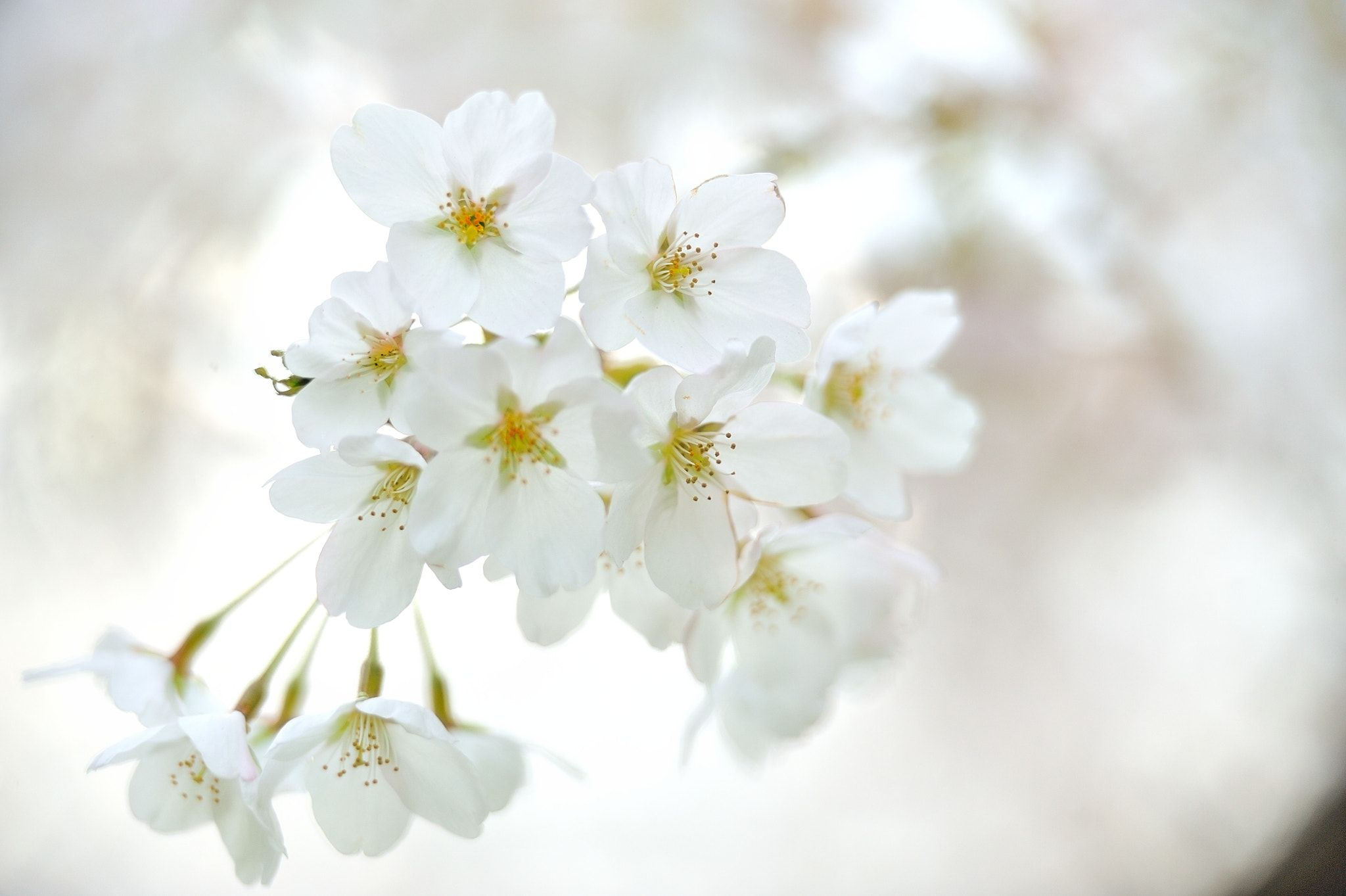 White Cherry Tree In The White Many Cherry Blossoms Are In Full Bloom On The Trees It Is A Cherry Tree Tha White Cherry Blossom White Cherries Sakura Flower