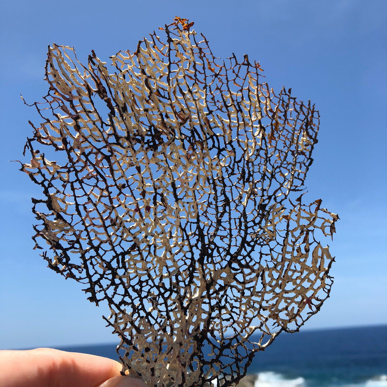 Sea Fan, Sea Fan Art, Natural Sea Fans, Sea Fan