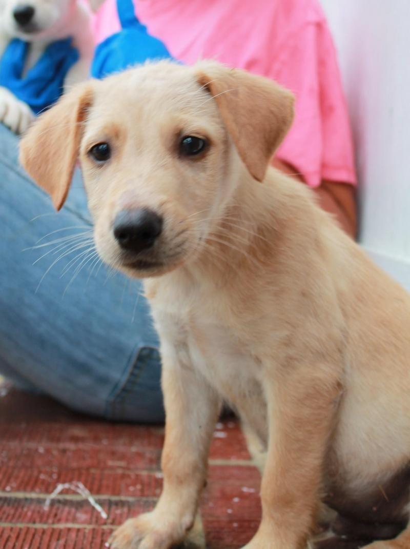 Adopt Franklin on Golden retriever labrador, Paws rescue