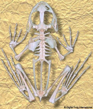 Frog Skeleton | Anatomy in 2019 | Animal skeletons, Skeleton
