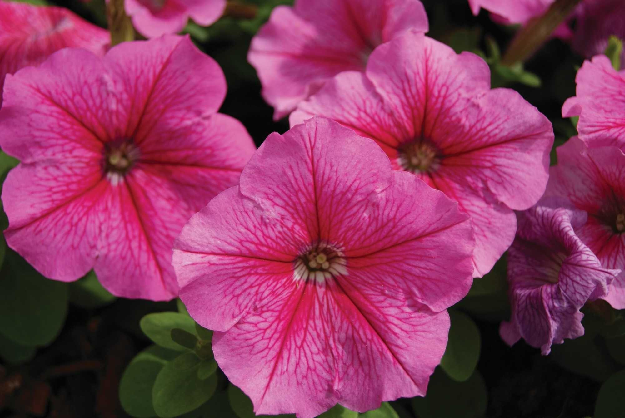 Pretty Purple Petunia Petunia Flower Petunias Purple Petunias