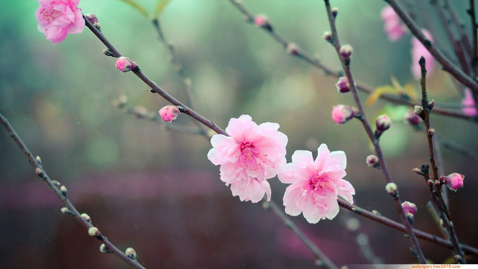 Images For Cherry Blossom Cover Photos Cherry Blossom Flowers Cherry Blossom Wallpaper Cherry Flower