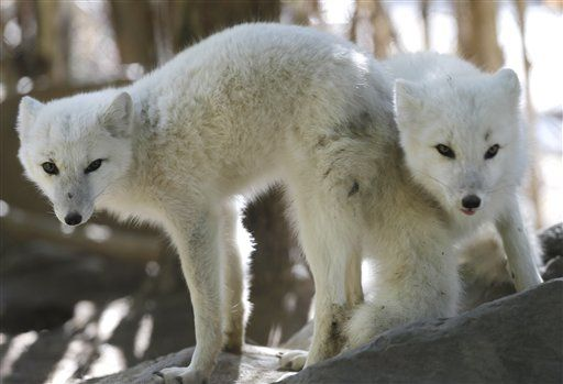 6 month old arctic foxes